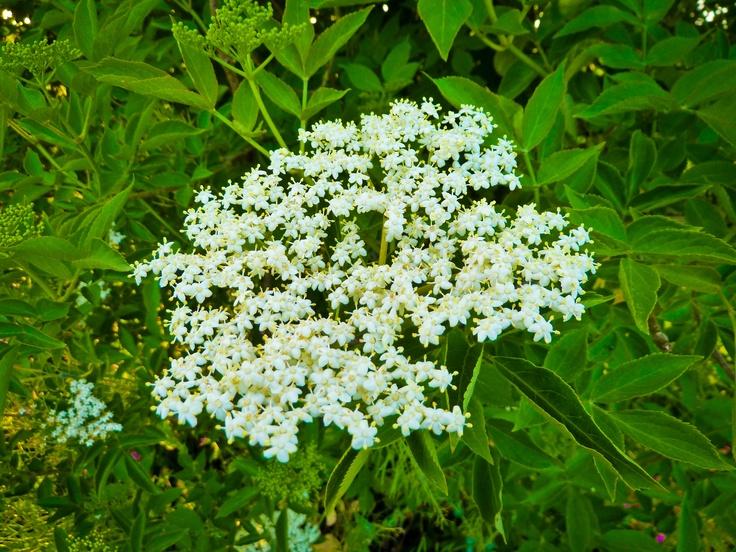 Plūškoka ziedi