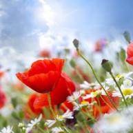 red_summer_flowers_wallpaper_in_hd