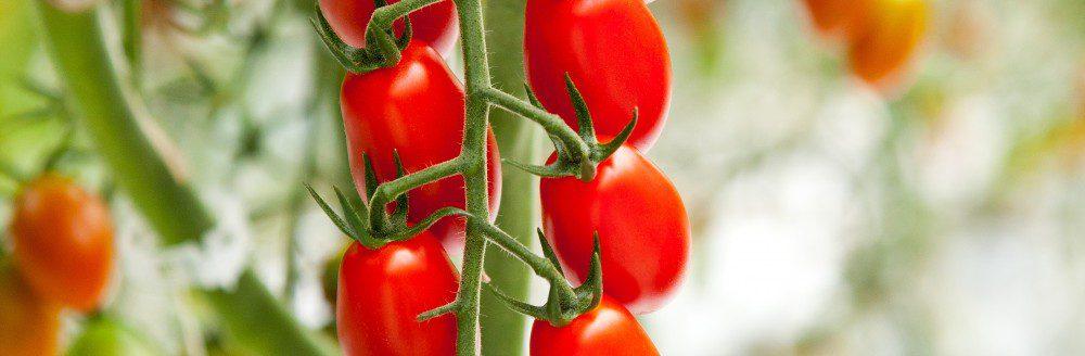 Hottest tomato winner
