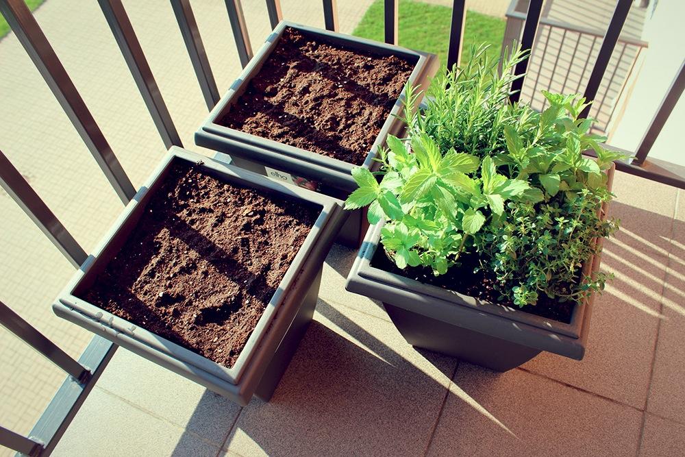 Kā audzēt garšvielas uz balkona