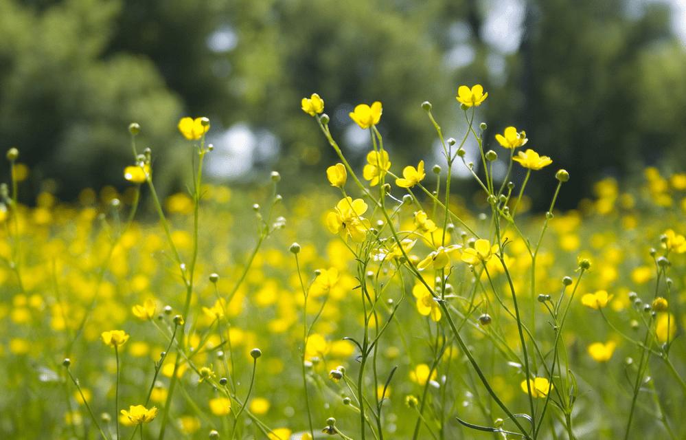 Maģiskās vasaras ziedu pļavas